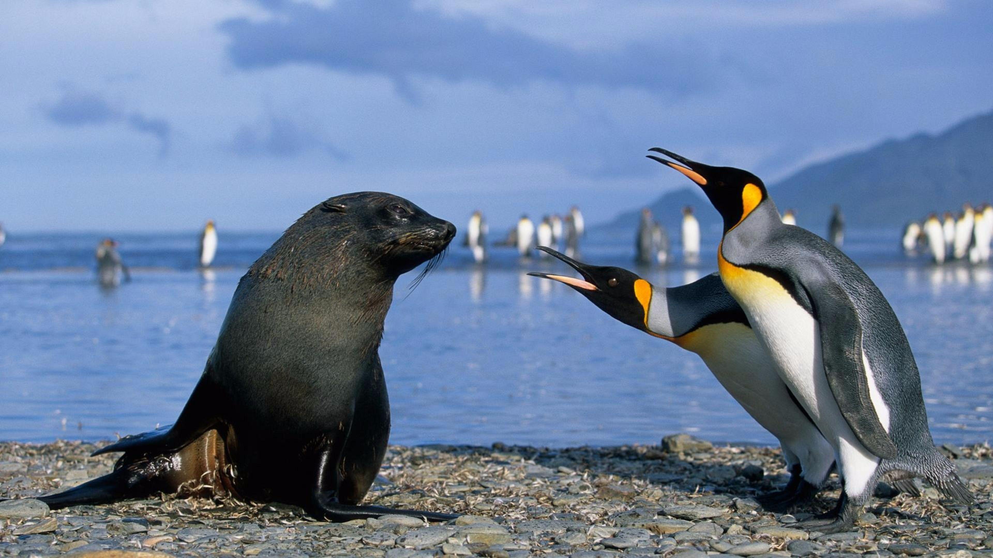 Walrus and Penguin S 4K wallpaper