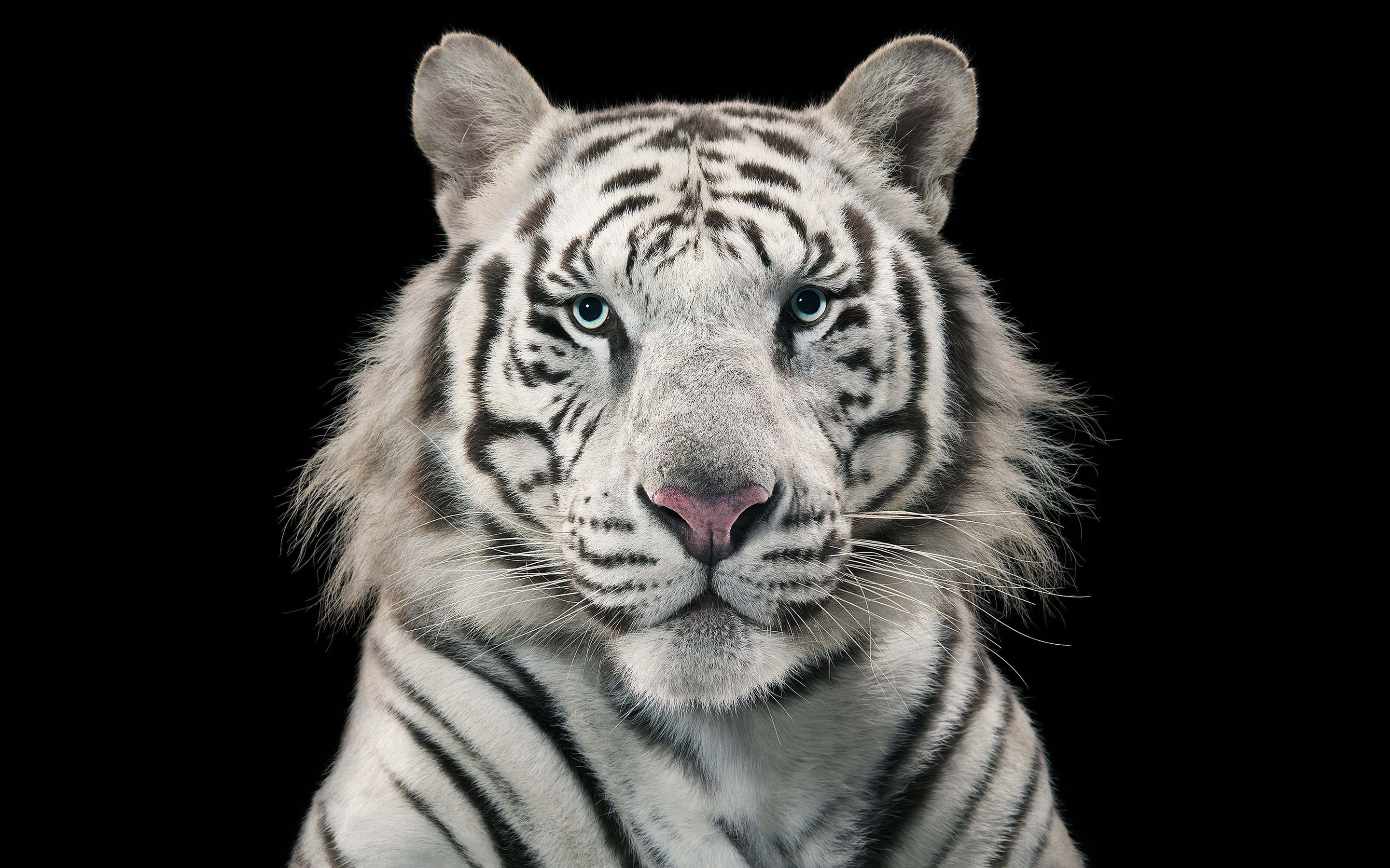 White Tiger Bengal Tiger wallpaper