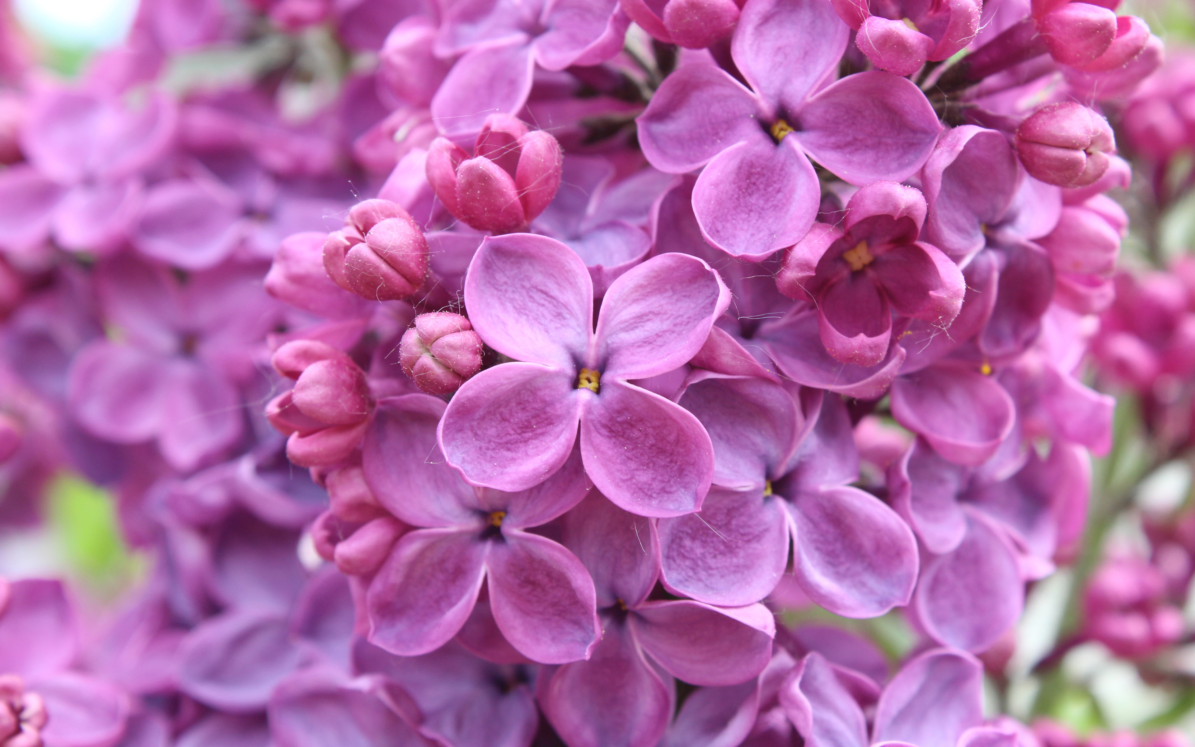 Purple Lilac Flowers wallpaper