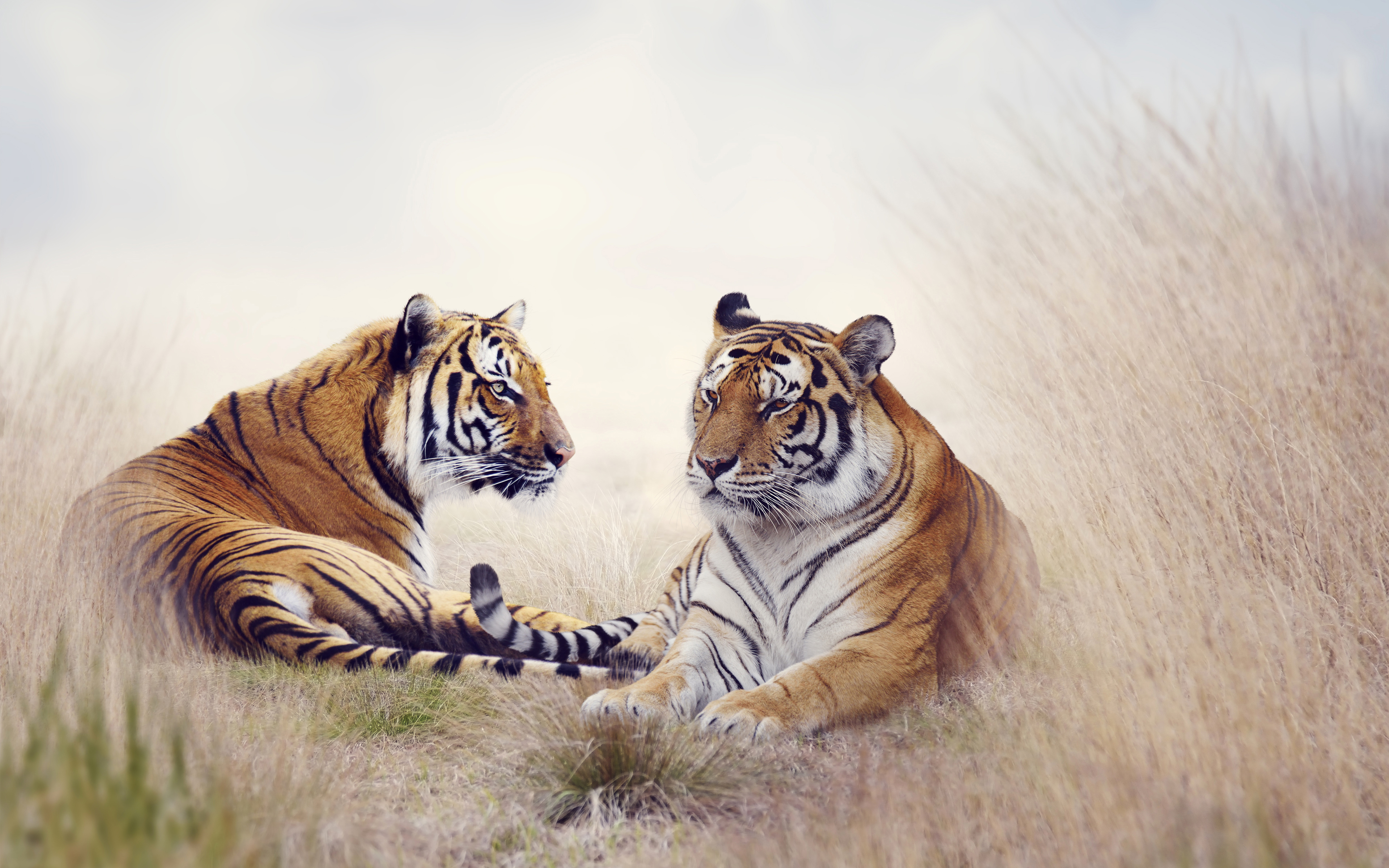 Tiger Pair 5K wallpaper