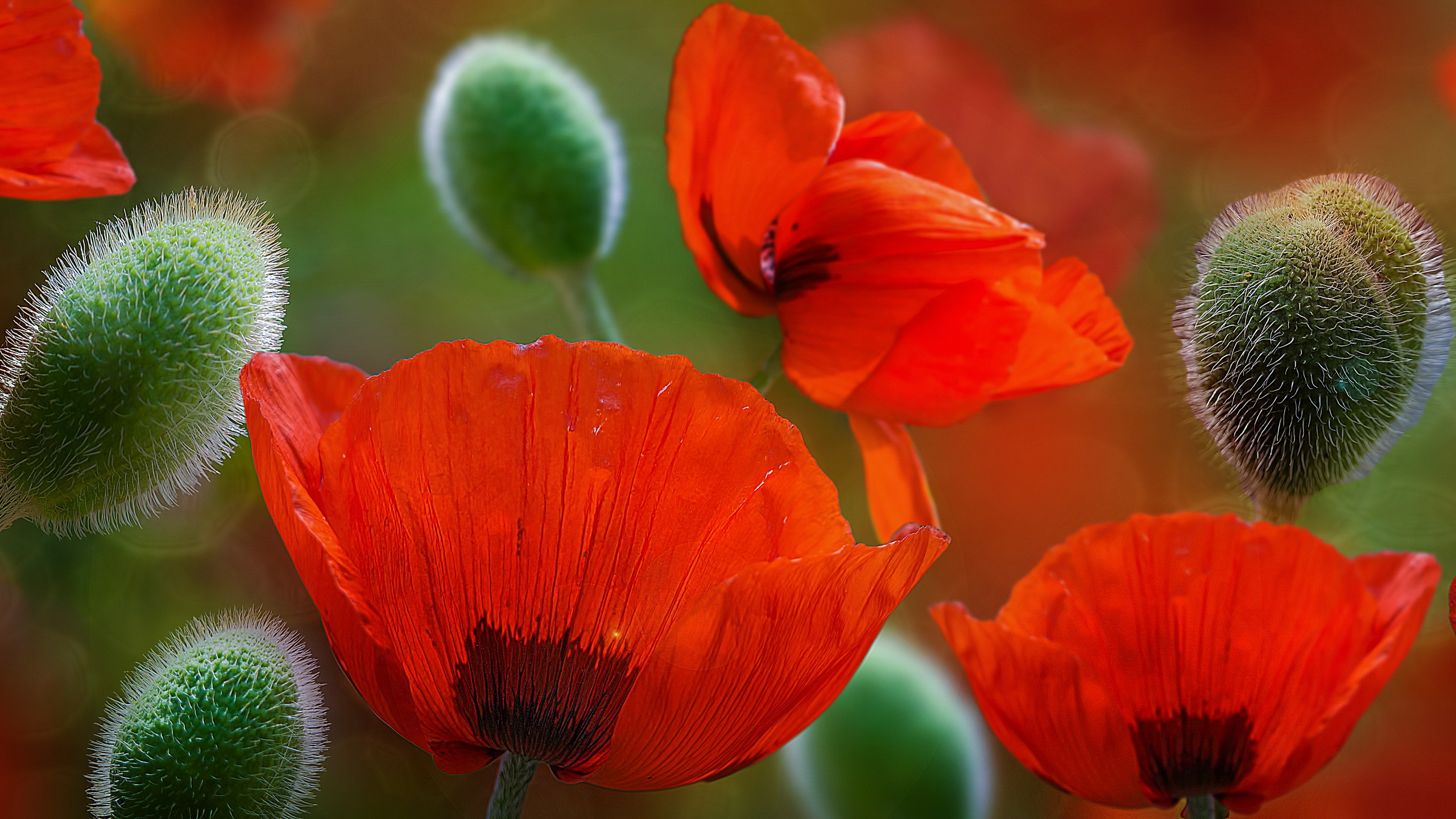 Beautiful Poppy Flowers wallpaper