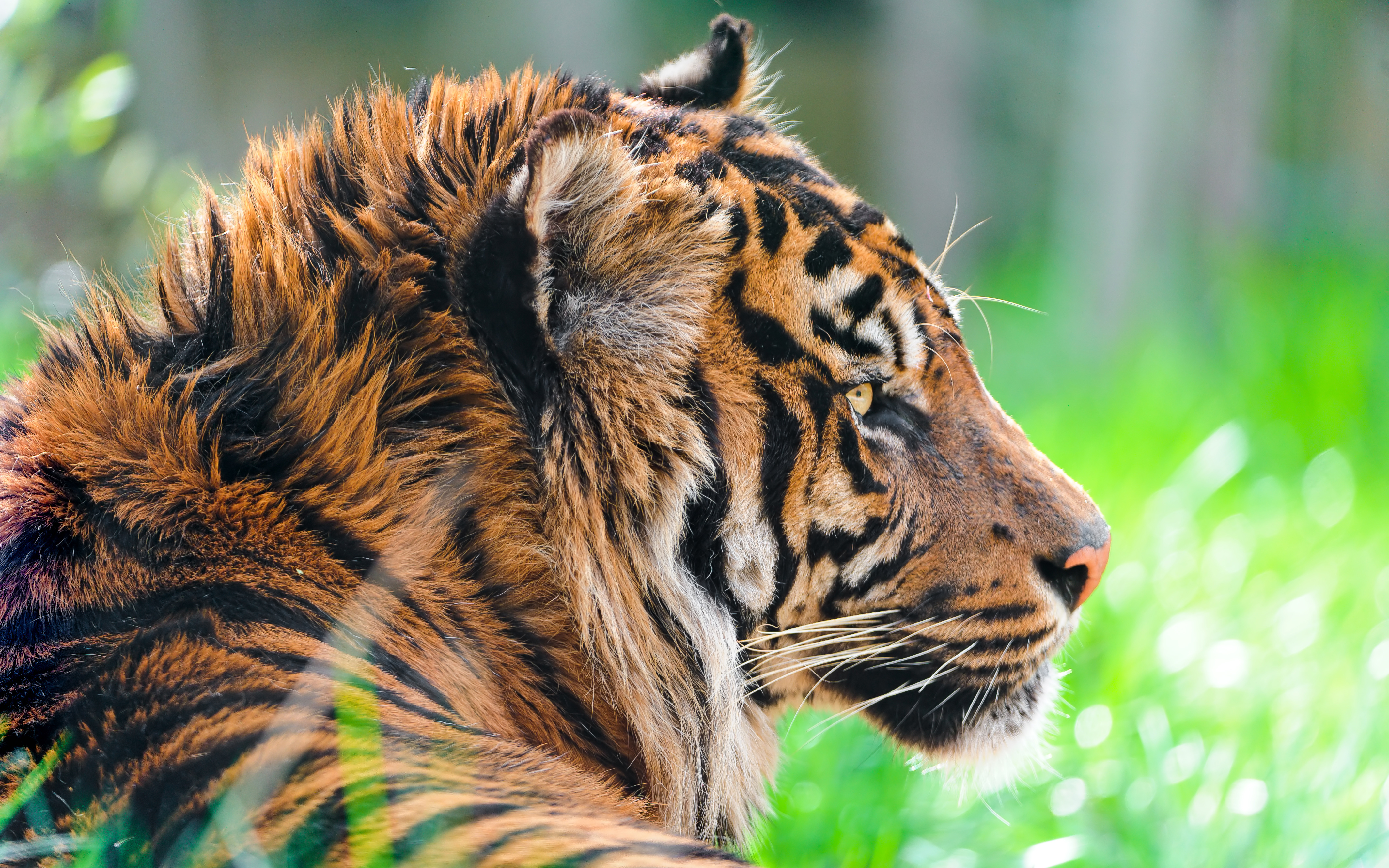 Sumatran Tiger 4K wallpaper