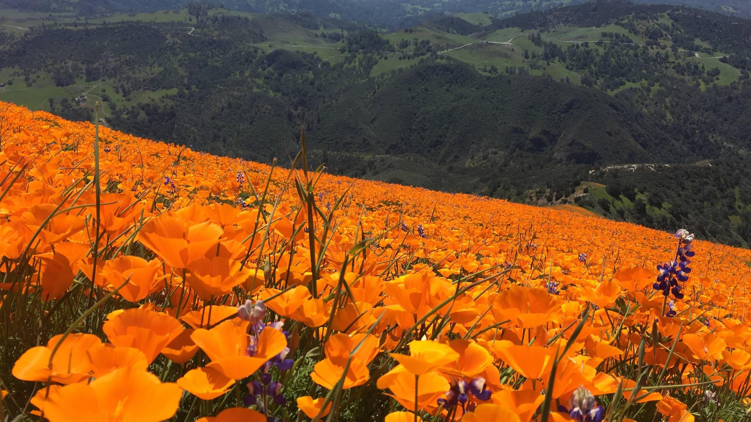 Wild Poppies at Grass Mountain Los Olivos CA wallpaper