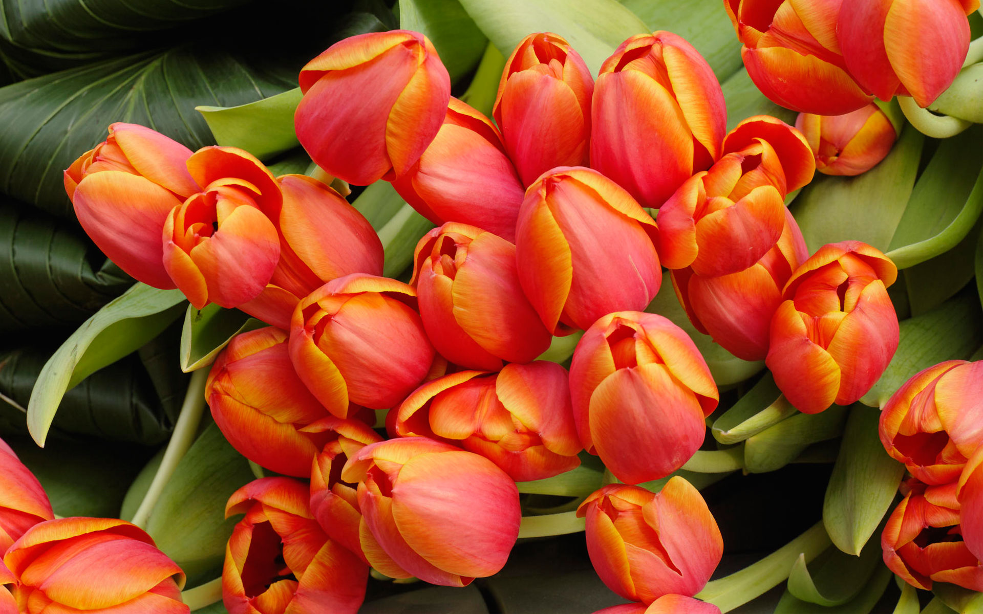 Tulip Flowers Arrangement wallpaper
