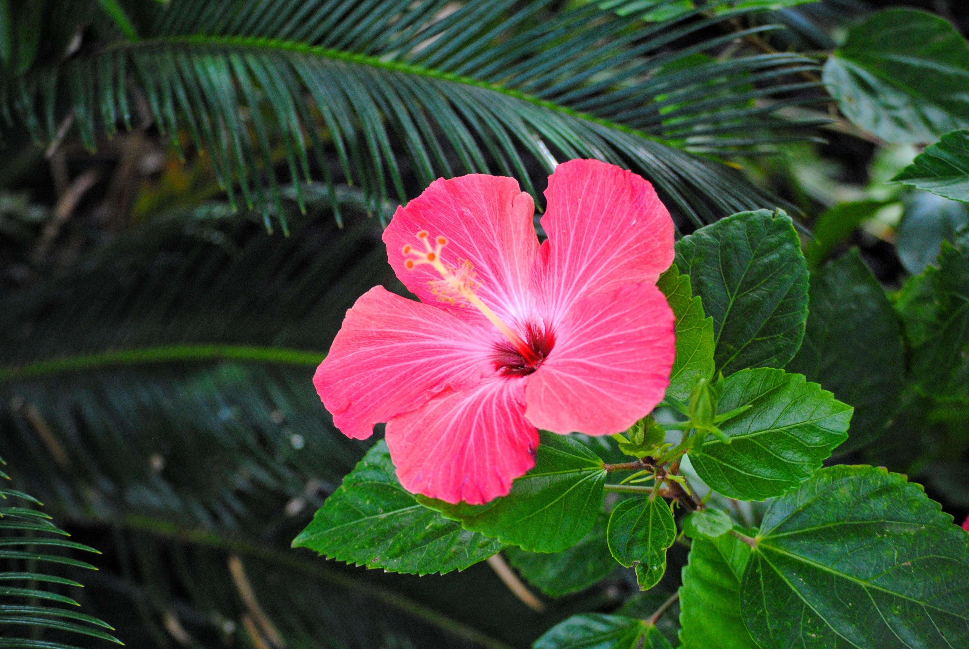 hibiscus wallpapers, photos and desktop backgrounds up to 8k