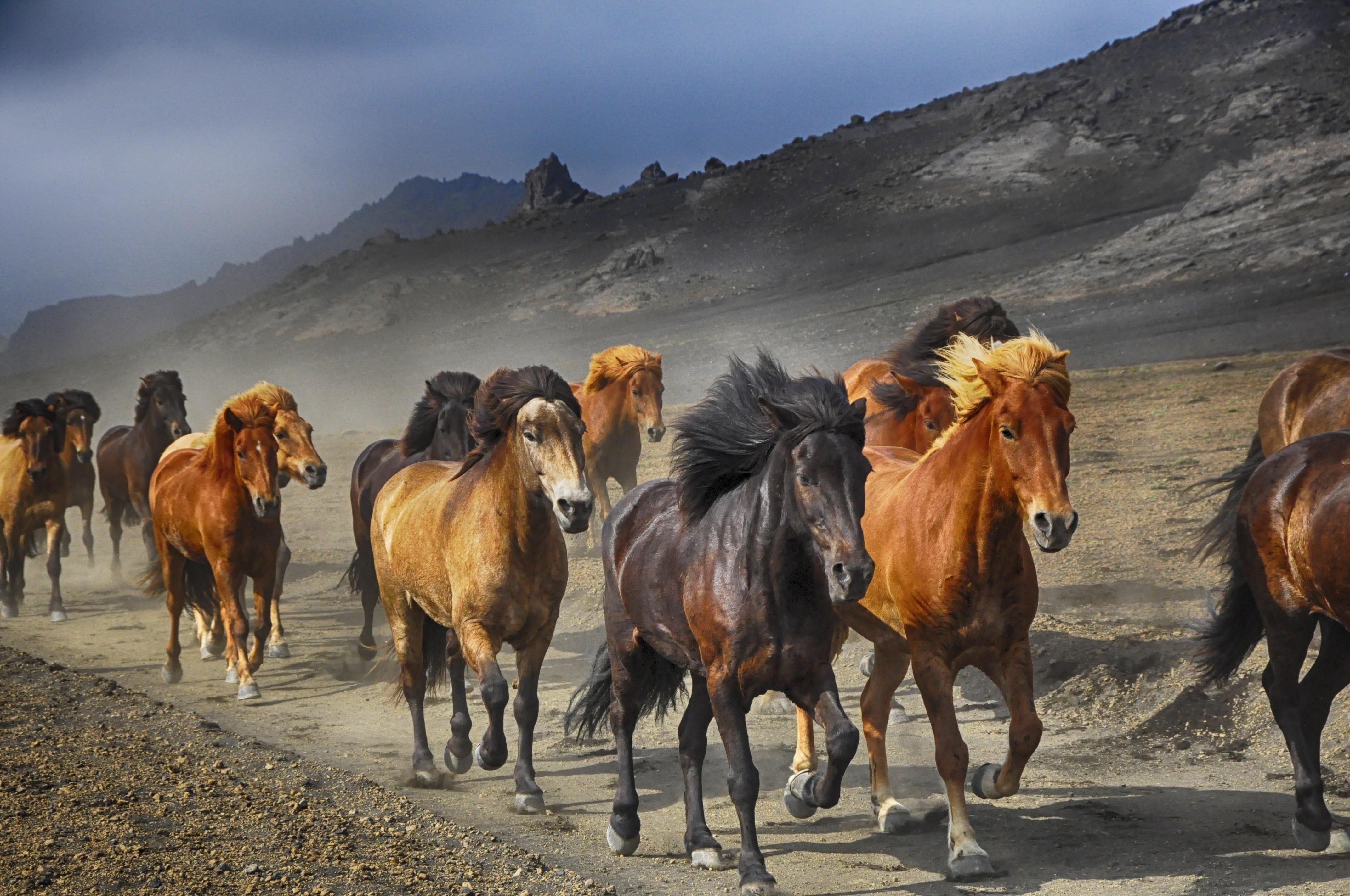 Horses Running on a Dirt Road wallpaper