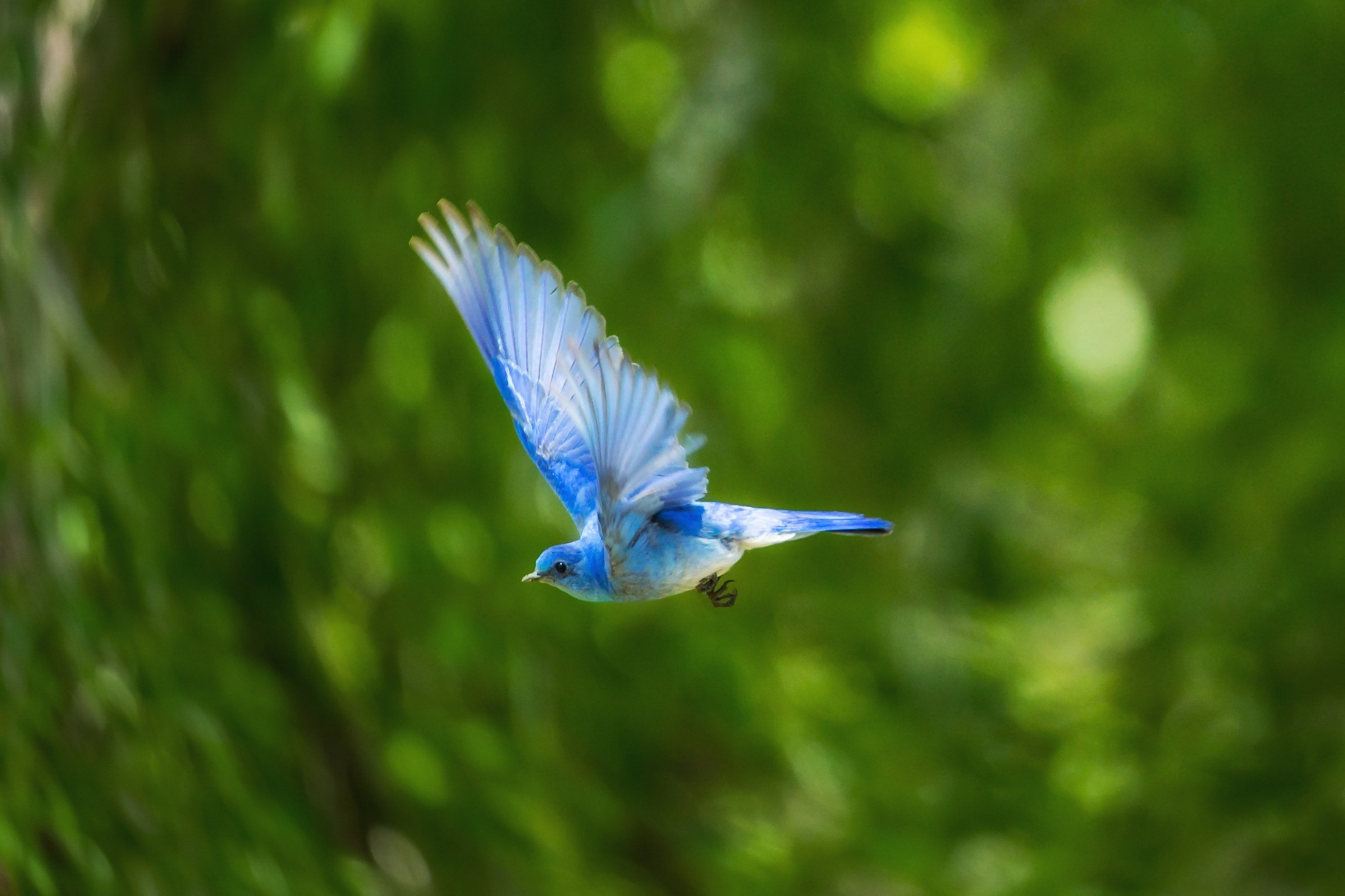 A Flying Blue Bird Hd Wallpaper