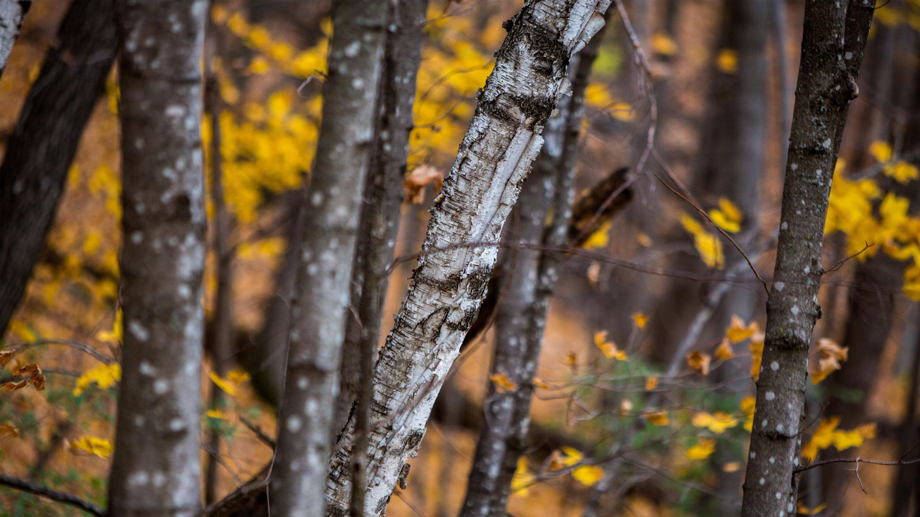 autumn birch tree wallpaper