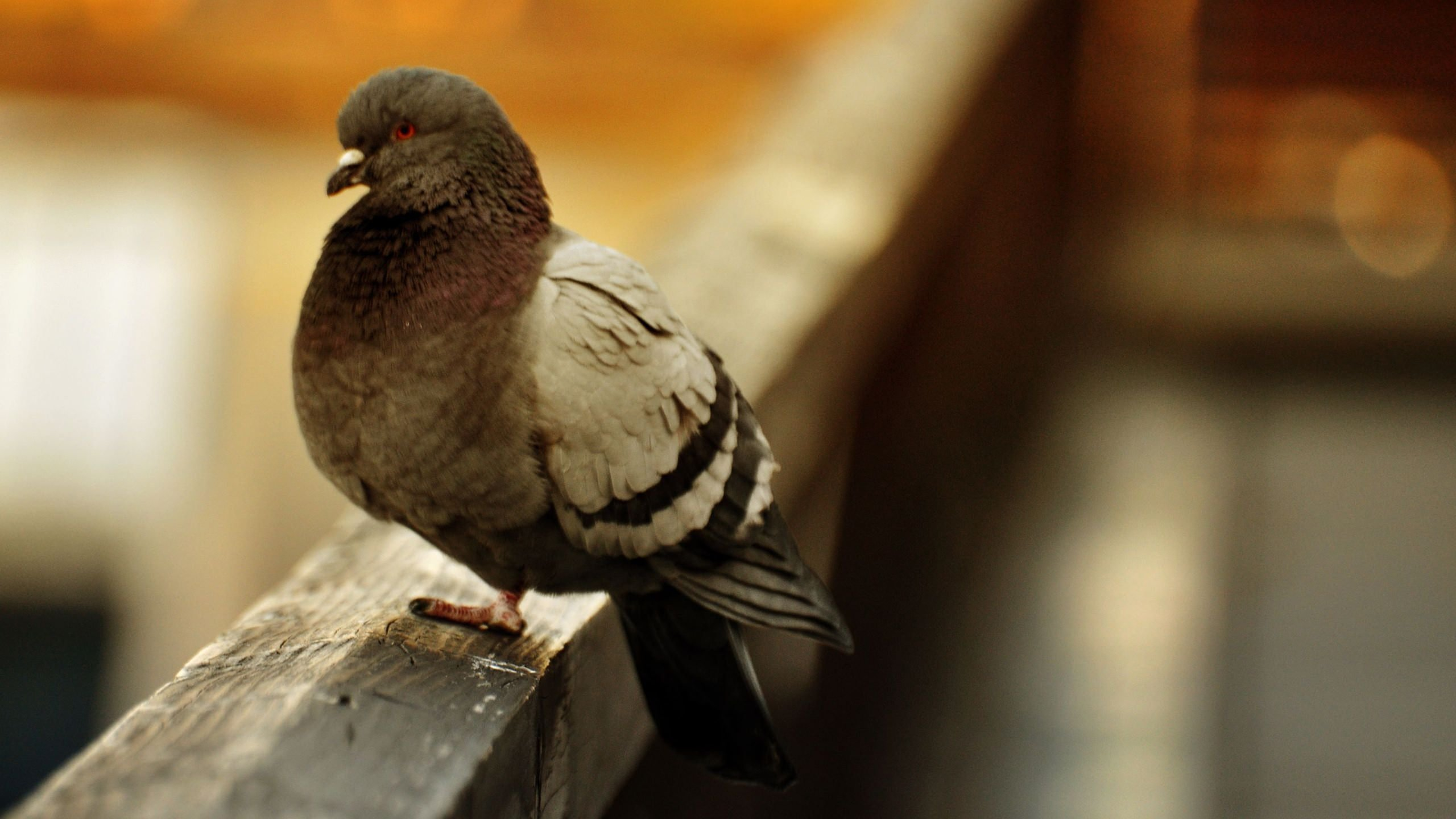 pigeon wallpapers, photos and desktop backgrounds up to 8k