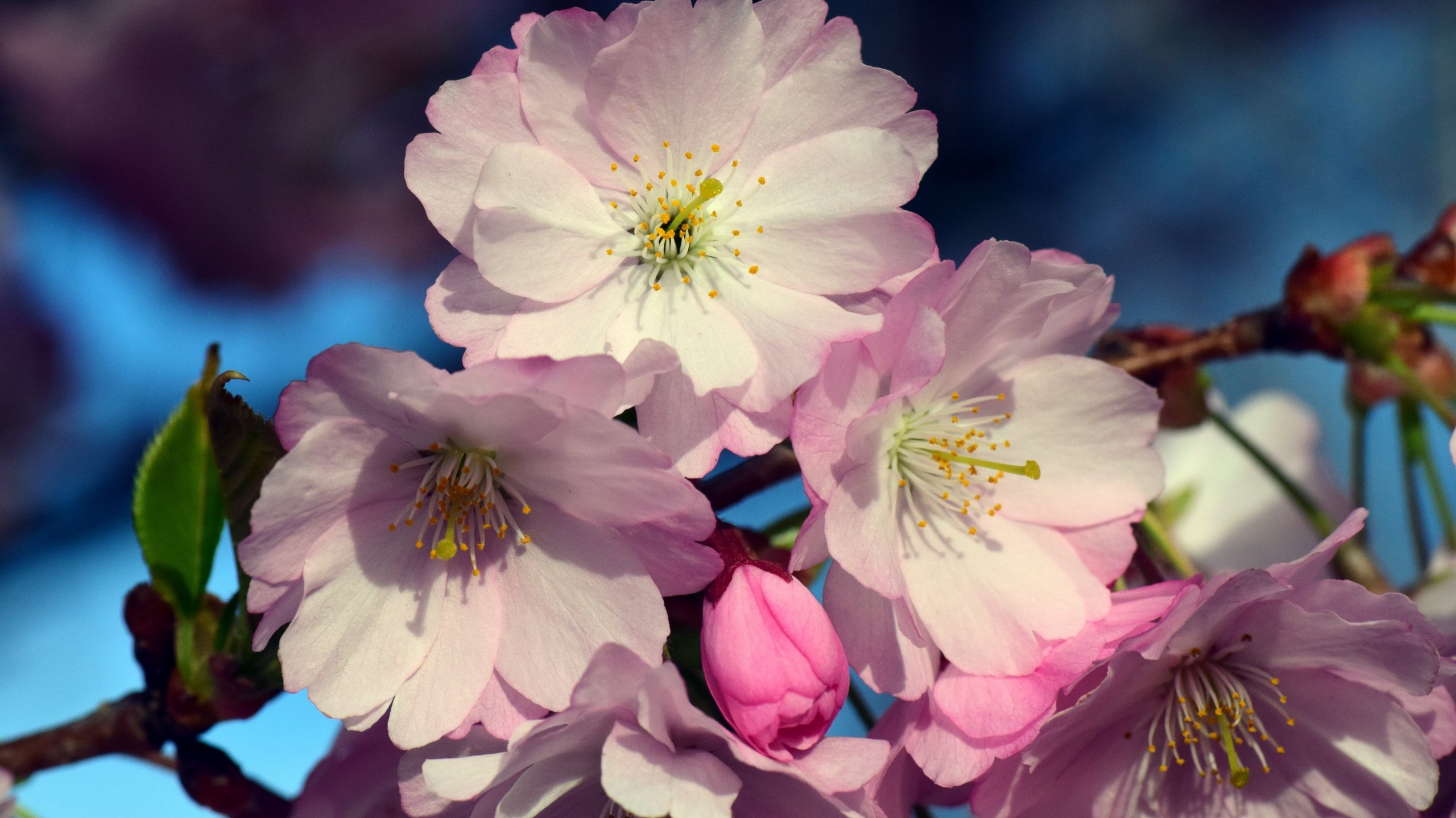 Cherry Blossom Flower Images Wallpaper