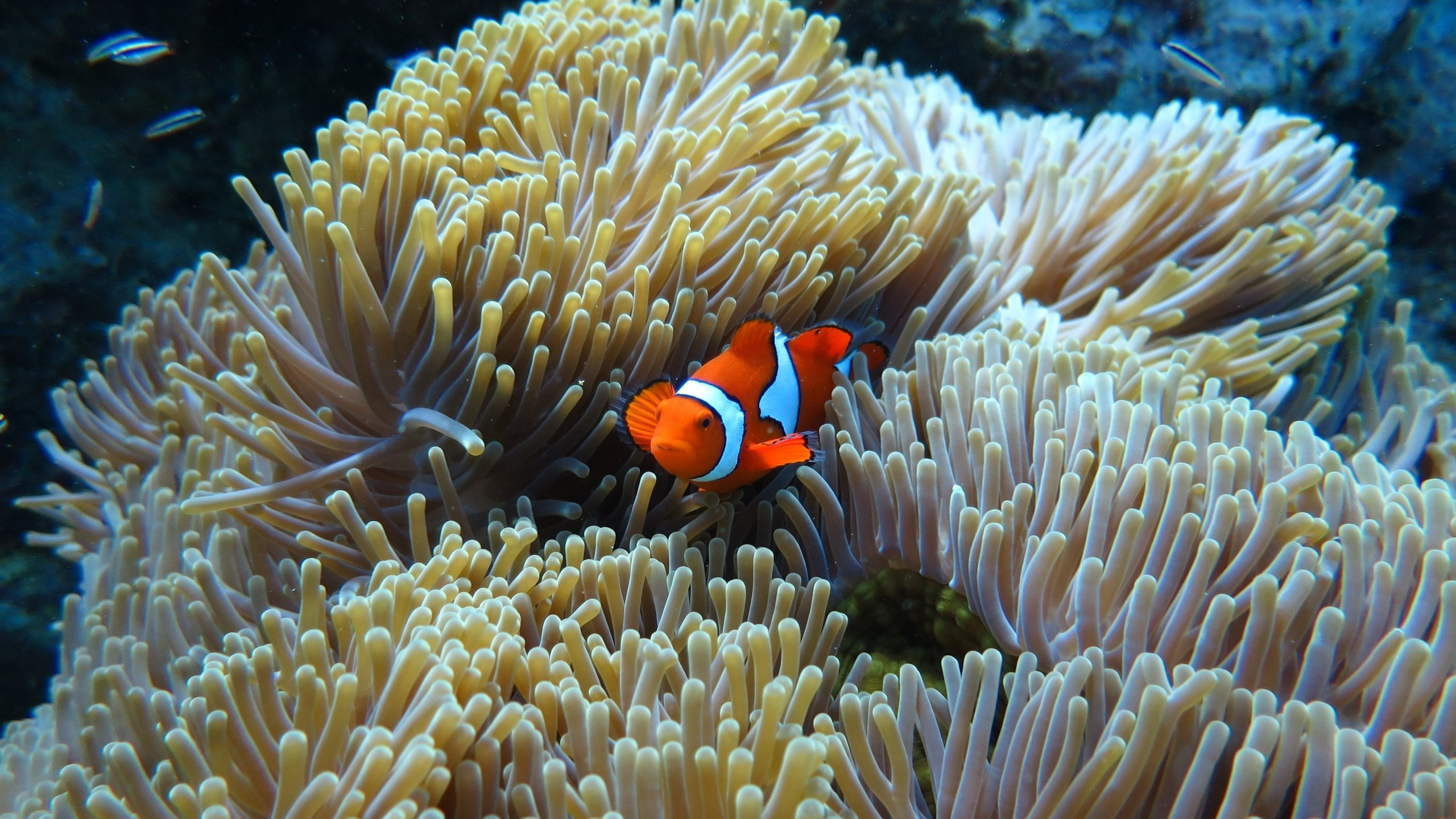 Beautiful Clownfish Hd Wallpaper