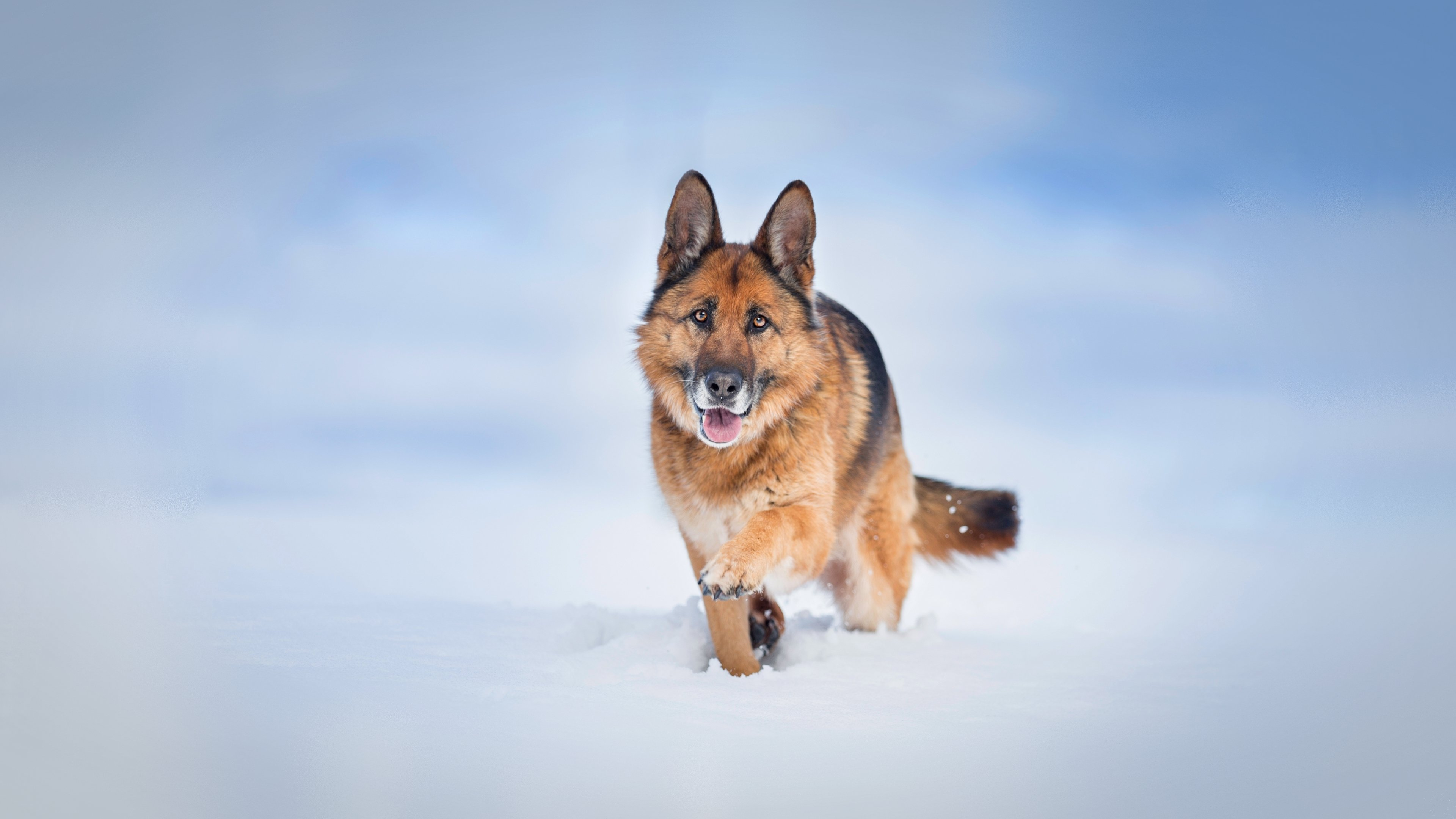 German Shepherd Dog 4K wallpaper