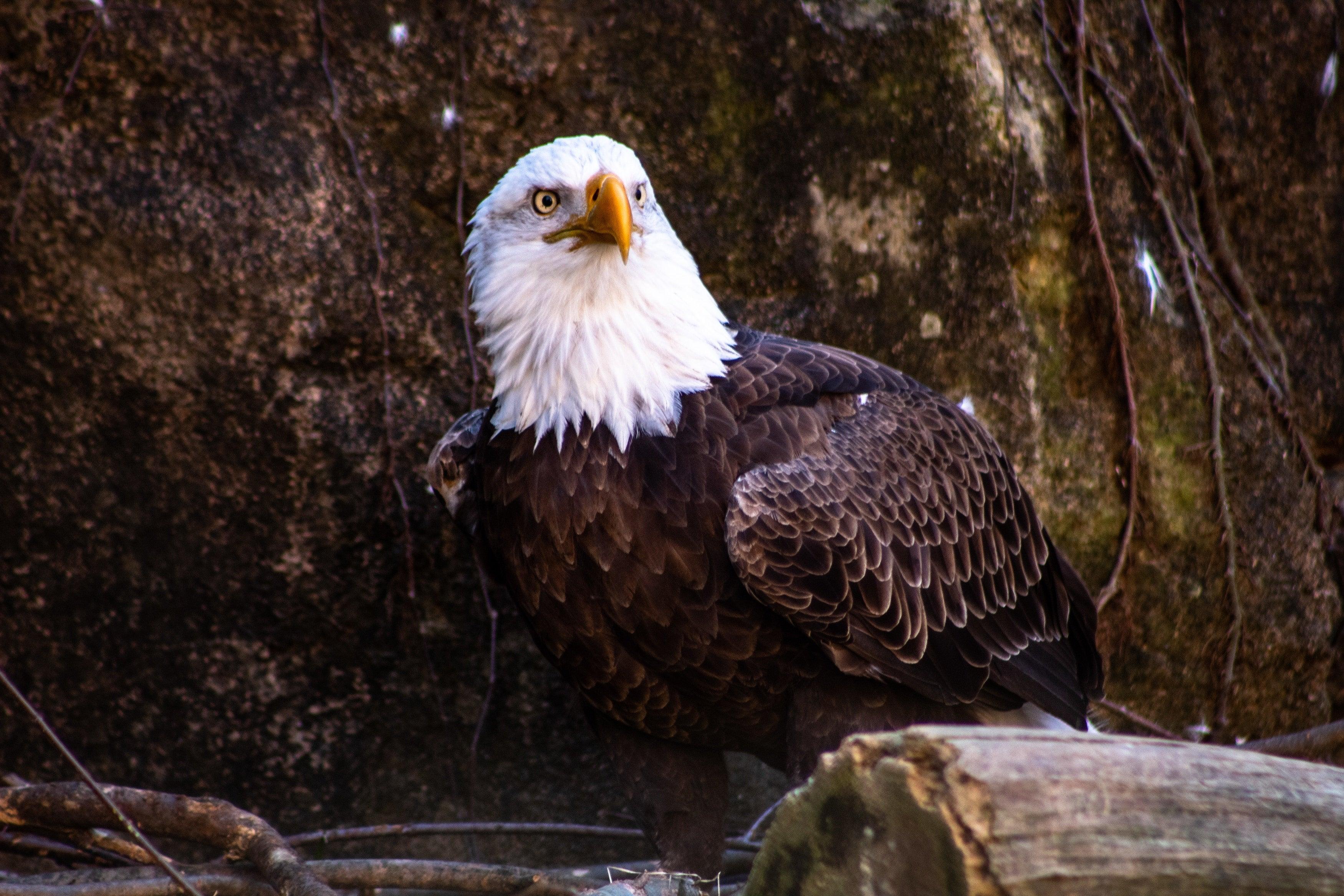 Bald Eagle Hd Wallpaper