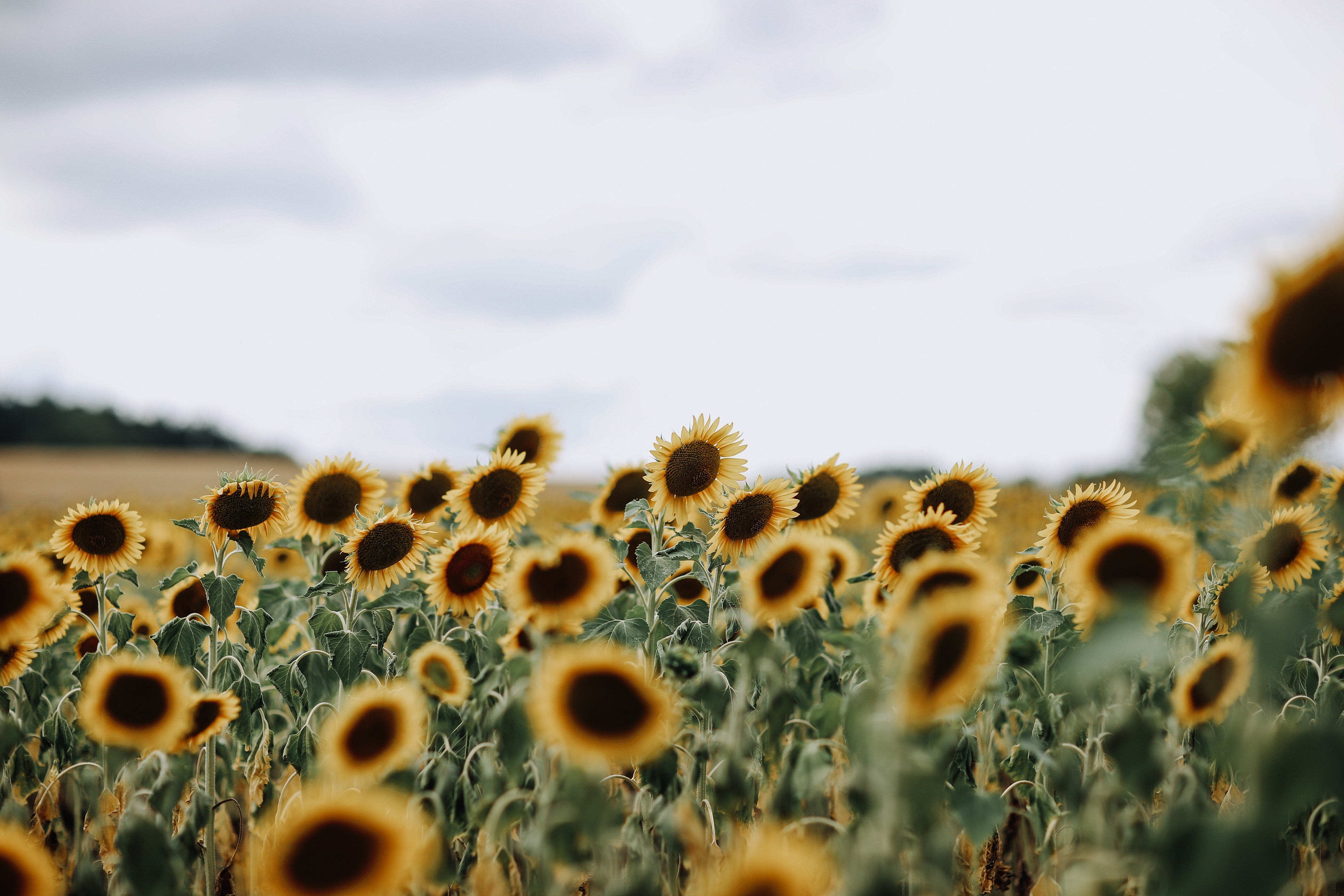 sunflower 4K wallpapers for your