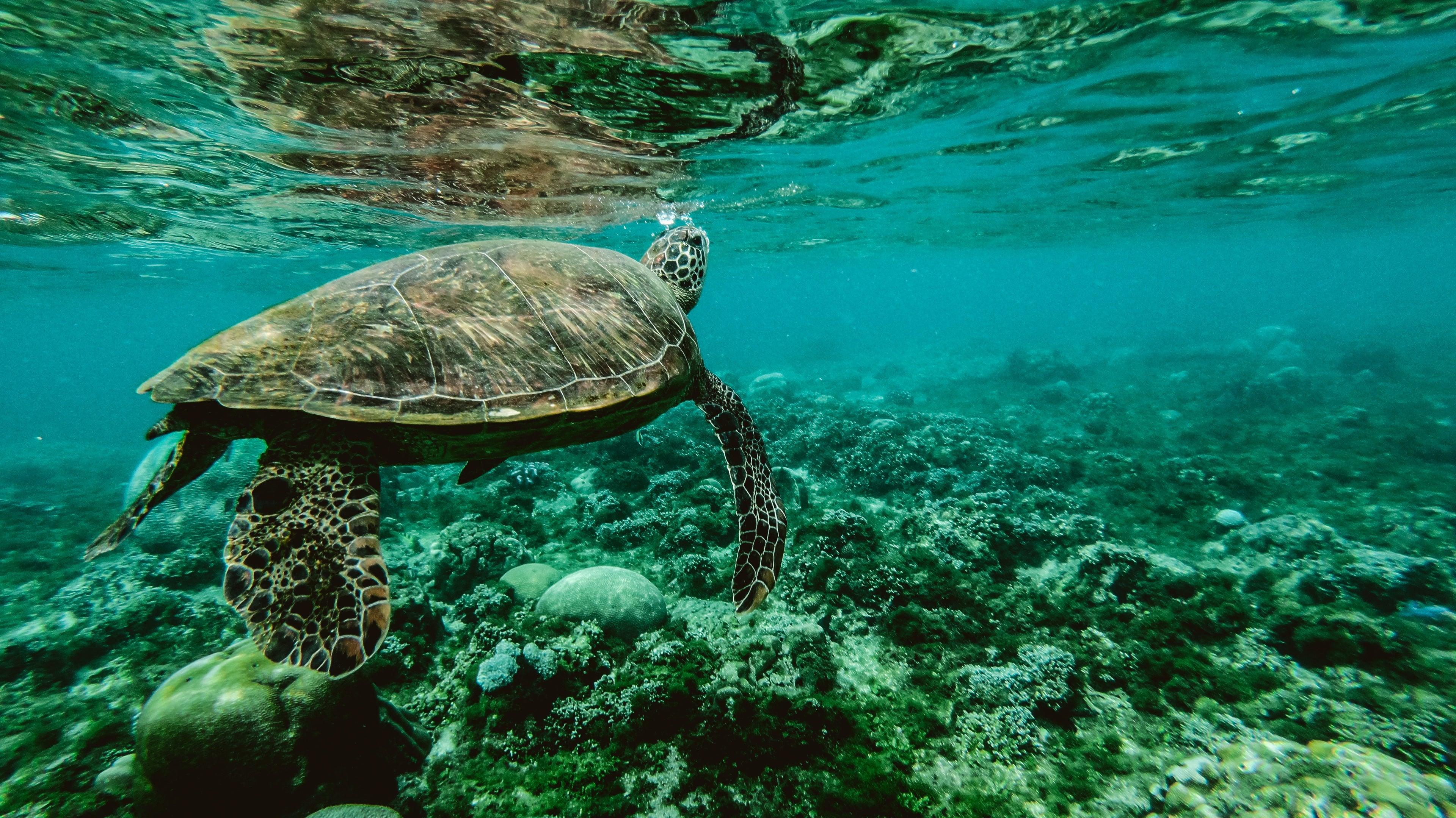 k turtle underwater k  wallpaper