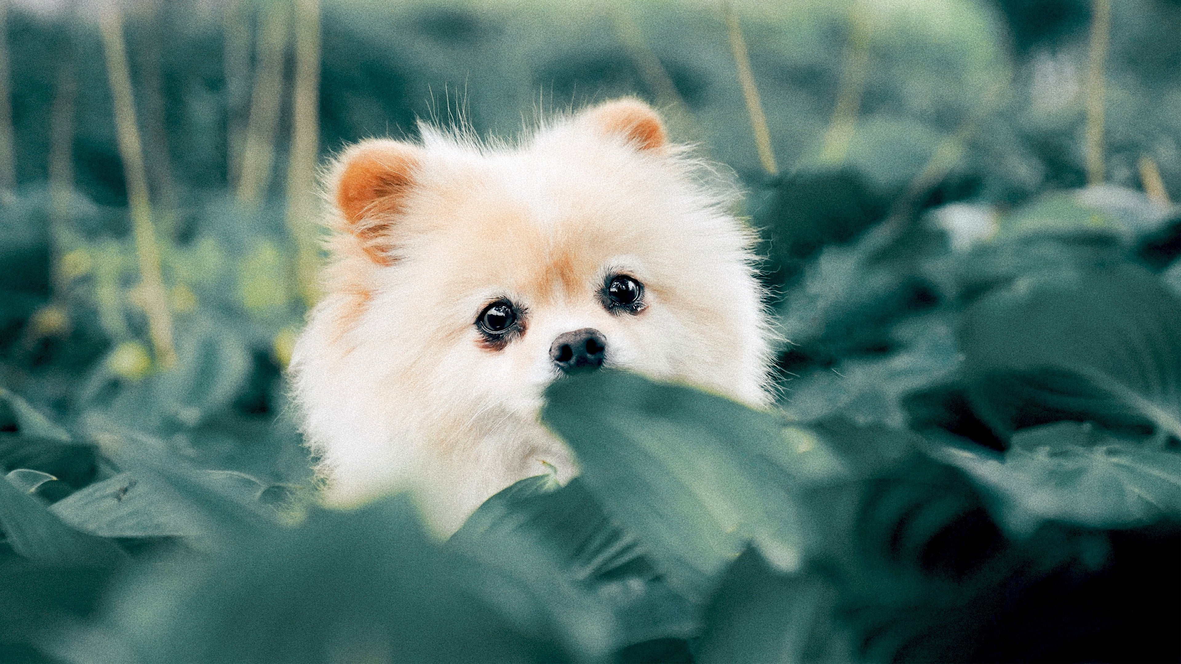 puppy 4K wallpapers for your desktop or