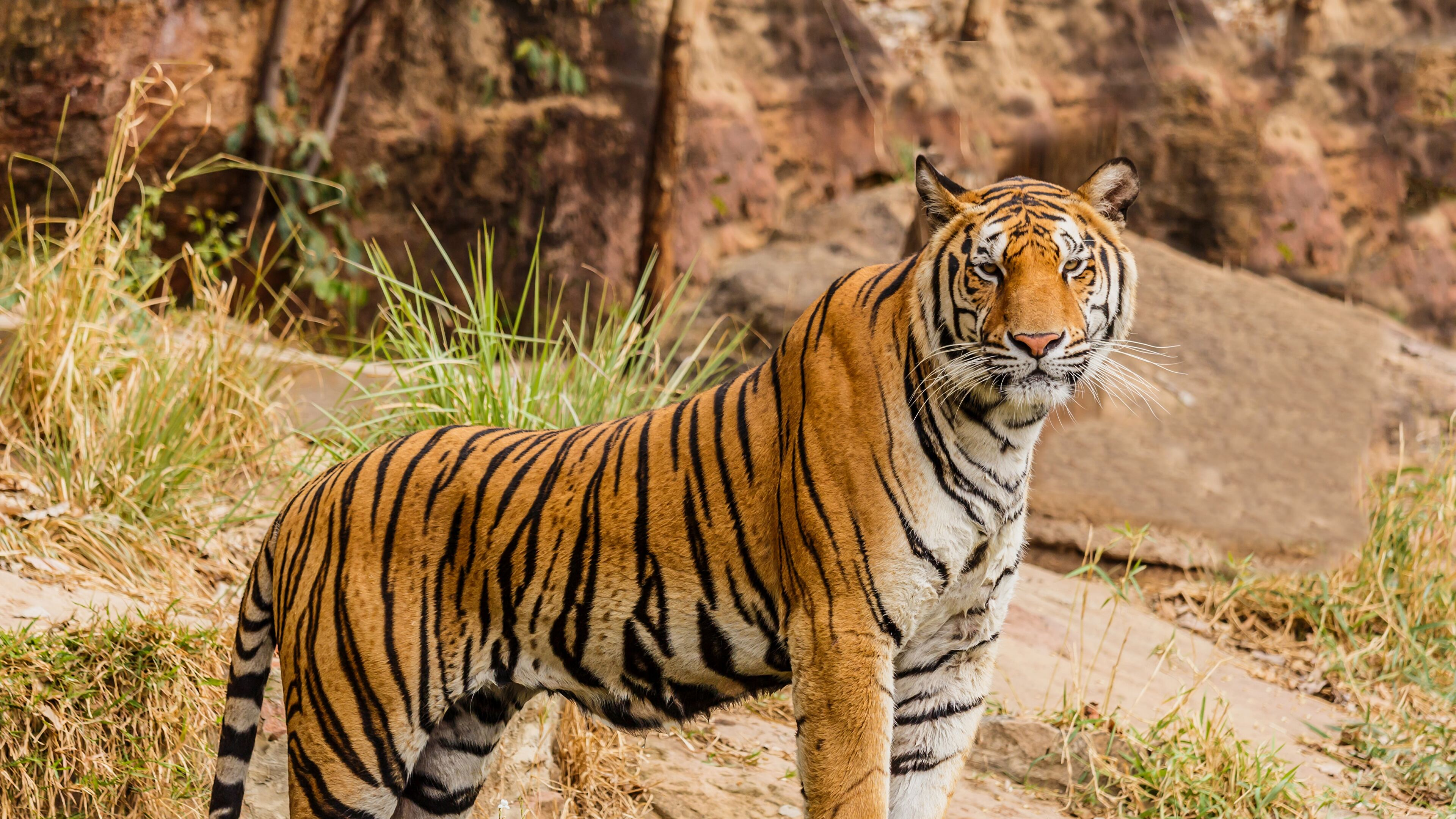 Tiger 4K wallpapers for your desktop or mobile screen free ...
