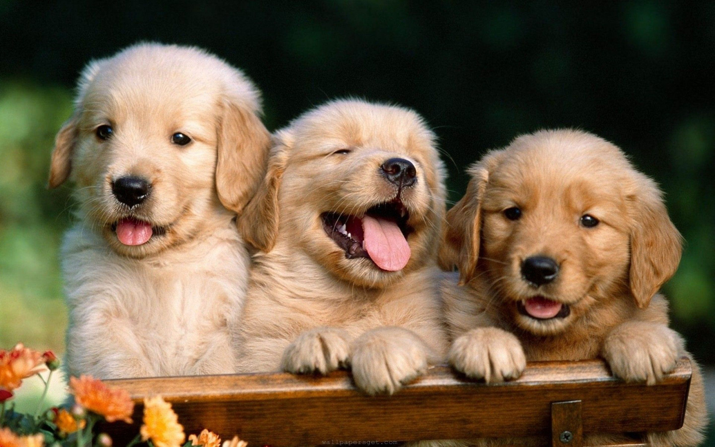 Puppy Babies Cute Dogs Hd Wallpaper