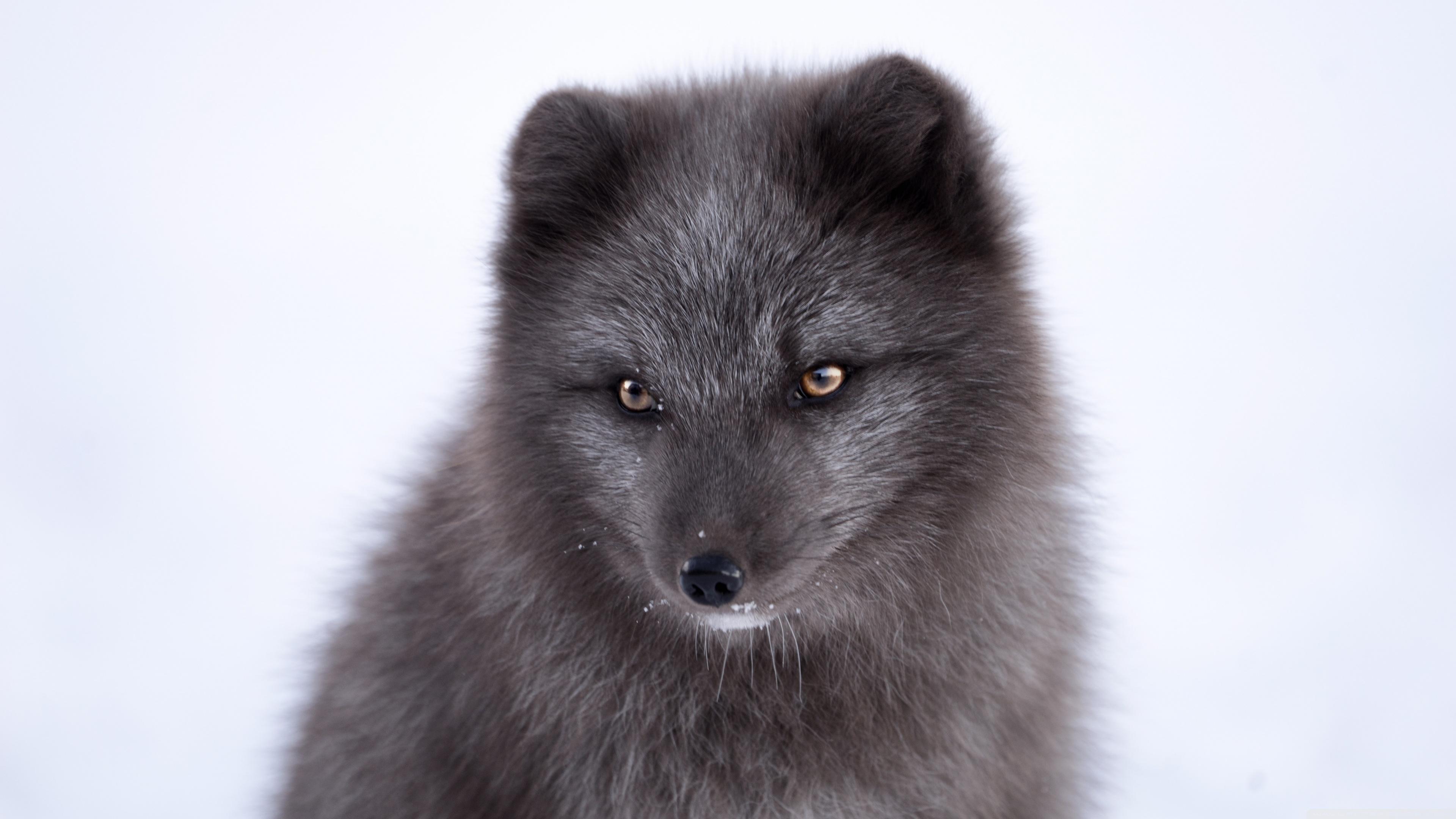Black Arctic Fox 4k Wallpaper