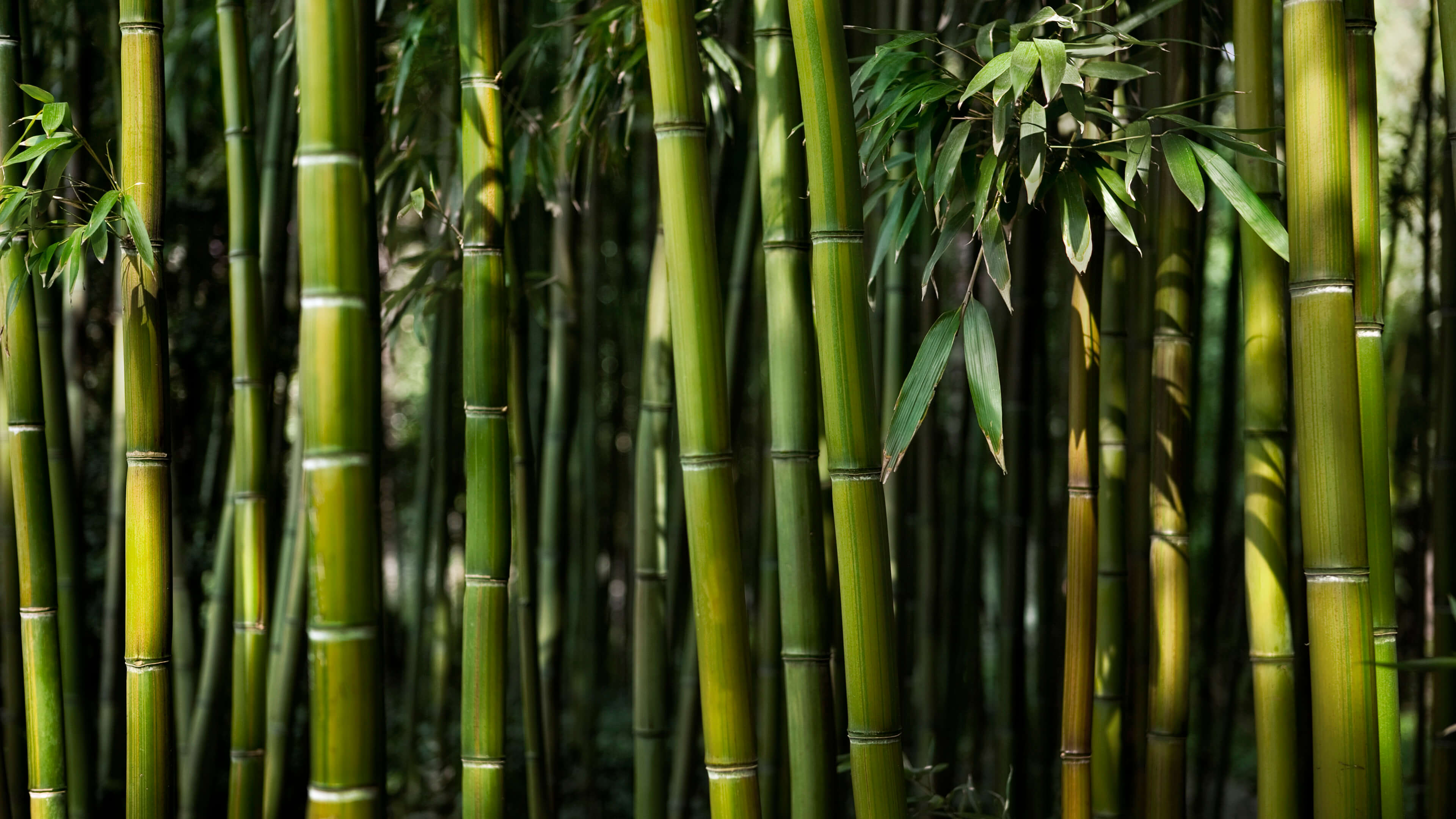 Bamboo 4K wallpapers for your desktop or mobile screen ...