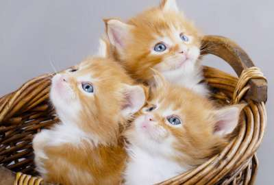 3 Kittens in Basket wallpaper