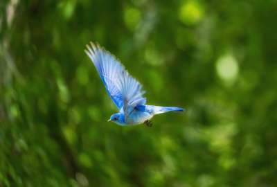 A Flying Blue Bird wallpaper