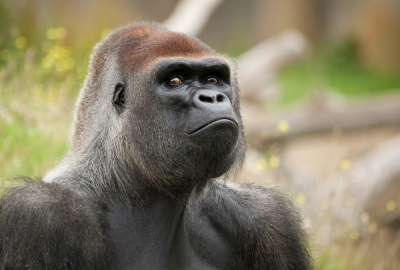 A Gorilla Monkey is in Angry Mode and Staring Amazingly wallpaper