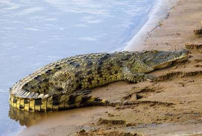 Alligator Crawling on Beach wallpaper