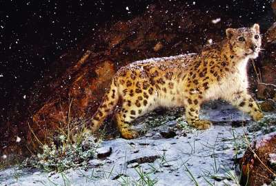 Astonished Snow Leopard on Montain wallpaper