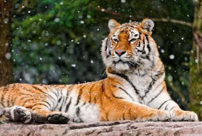 Awesome Relaxing Tiger wallpaper