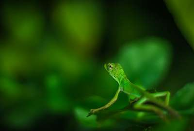 Beautiful Green Lizard: Macro Photo wallpaper