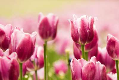 Beautiful Pink Tulips wallpaper