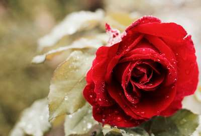 Beautiful Red Rose 4K wallpaper