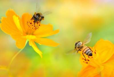 Bees Over Pretty Yellow Flowers wallpaper