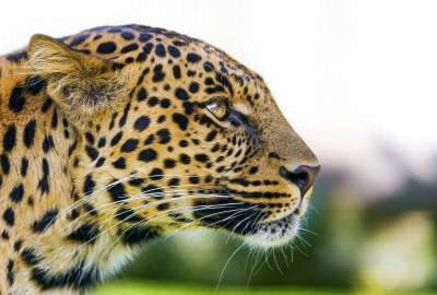 Big Cat Leopard wallpaper