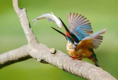 Bird Catching Fish Brench wallpaper