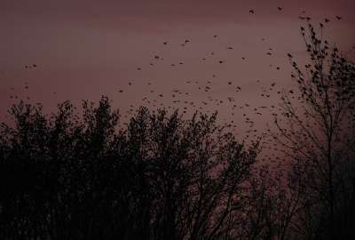 Birds Black Branches Purple Sunset Trees wallpaper
