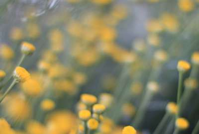 Blurry Yellow Flowers wallpaper