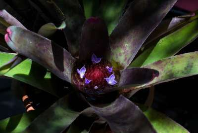 Bromeliad in Bloom wallpaper