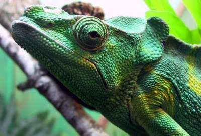 Chameleon Closeup wallpaper