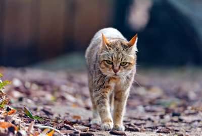 Cat Walking With Sad Face wallpaper