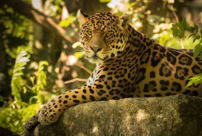 Chincha the Jaguar wallpaper
