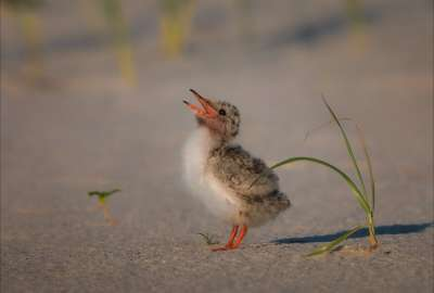 Common Tern Chick Begs for Food wallpaper