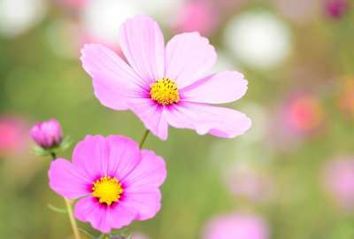 Cosmea Floral Bloom wallpaper