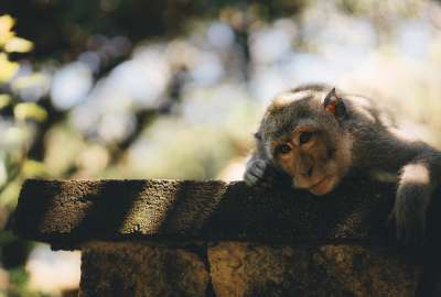 Cute Monkey on Fence Close-up wallpaper