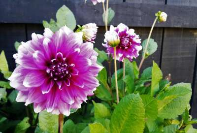 Dahlia Flowers wallpaper