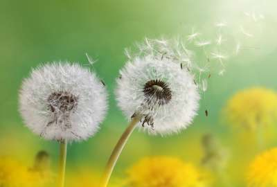 Dandelion Flowers 4K wallpaper