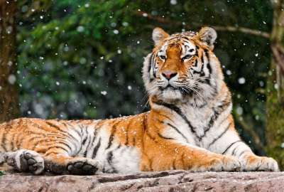 Elena Siberian Tigress 4K wallpaper