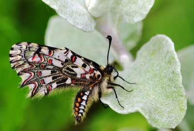 Excellent Spanish Festoon Butterfly wallpaper