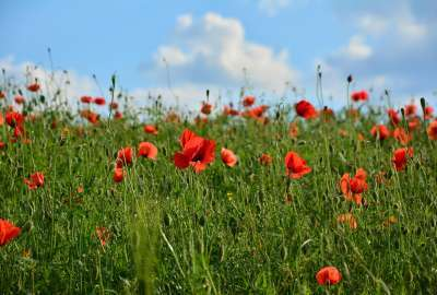 Field of Red Poppy Flowers wallpaper